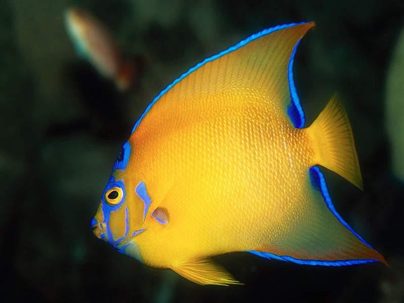 Immagini di pesci 27 of 30 for Sfondi pesci tropicali